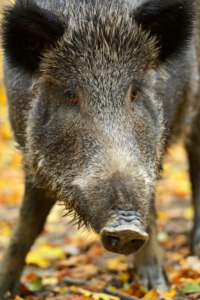 Wild boar cause road accident, but who pays for the damage?