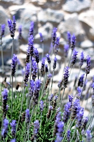 Propagating lavender and enjoying one of the best dry landscaping plants in Spain