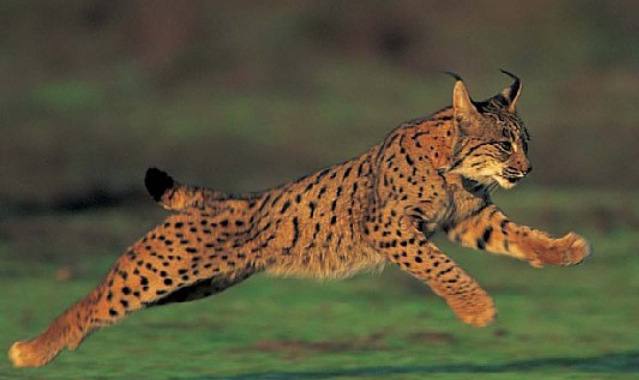 19249_another-iberian-lynx-found-dead-in