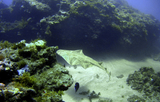 Angel sharks sighted by divers off  the Canary Islands