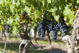 Spanish grape growers squeezed by wine producers