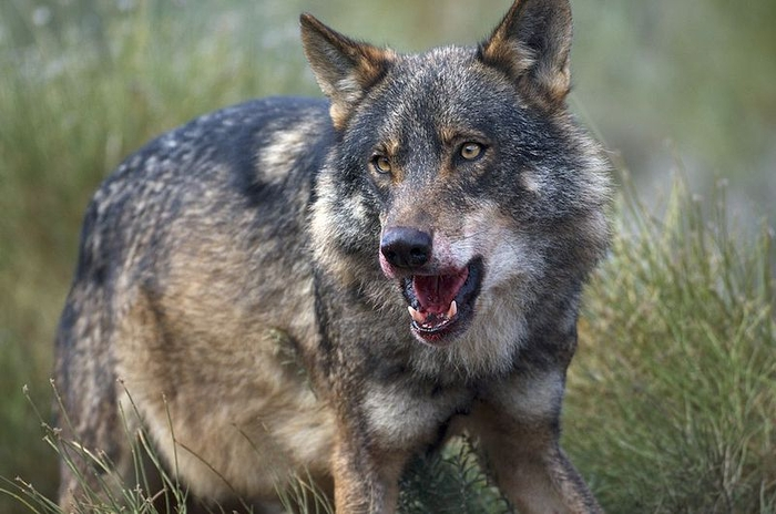 Campaign to save the Andalucía Iberian wolf population