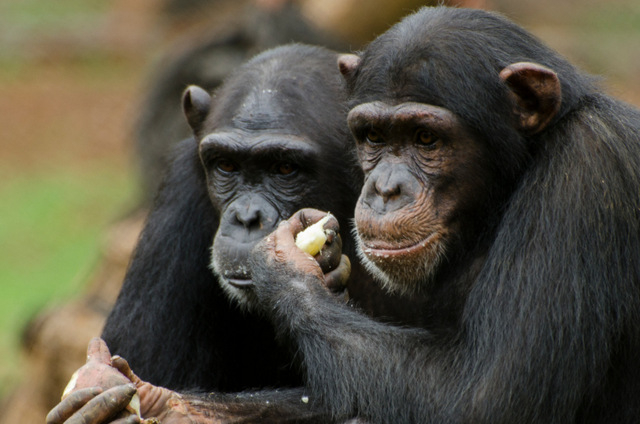 Two more chimpanzees shot after escaping from Fuerteventura zoological park