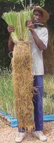 Delivered by post Vetiver Wonder Grass a natural solution to soil erosion and much more,