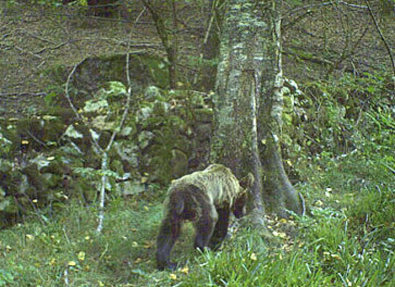 Asturias bears threatened by food shortages in the wild