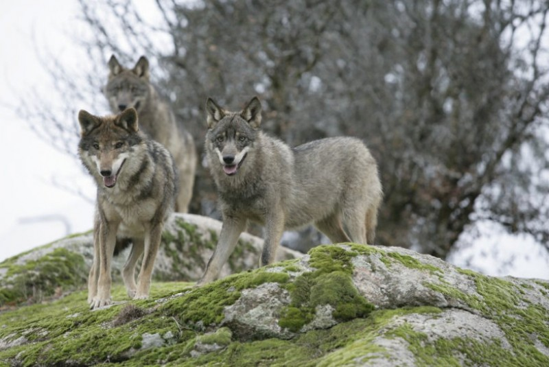 Asturias farmers report increase in wolf attacks