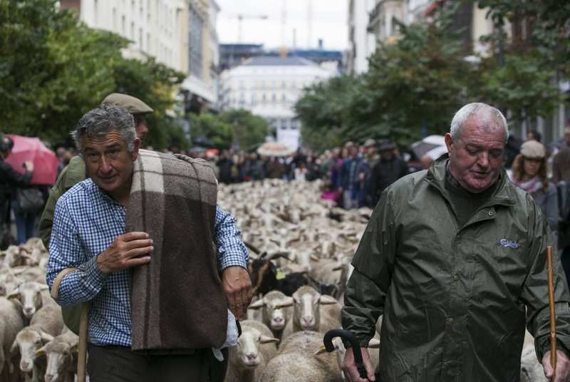 Central Madrid welcomes 2,000 sheep in annual transhumance celebration