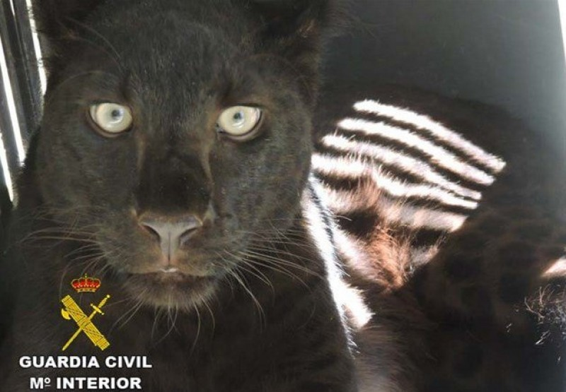 Black panther found in Almeria animal centre