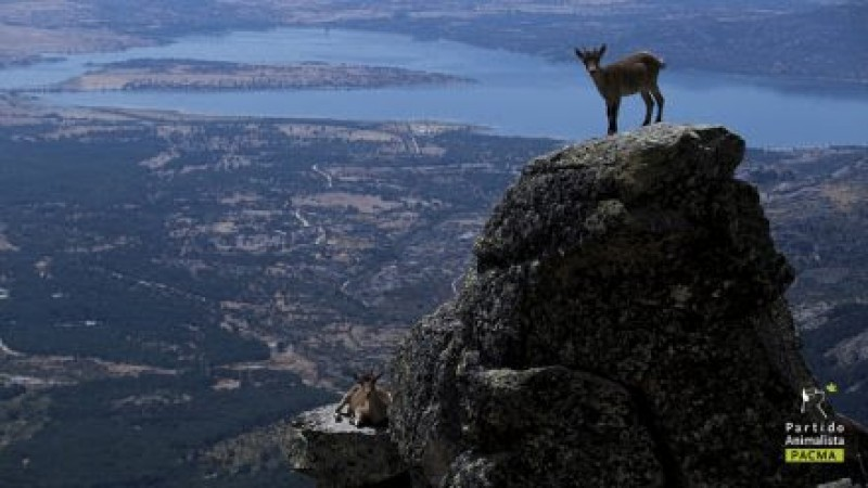 Guadarrama goat cull suspended by Madrid courts