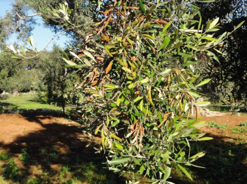 Olive trees threatened by deadly virus in the Balearics