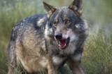 Madrid farmers report 100 per cent increase in wolf attacks