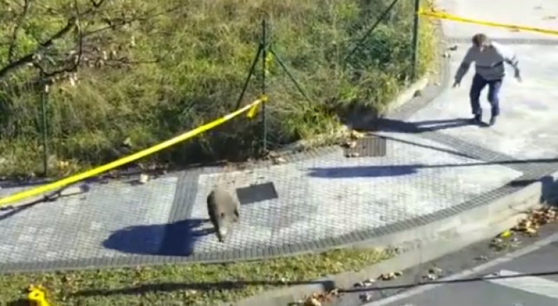 Basque animal rights activists outraged by boar shootings in San Sebastian