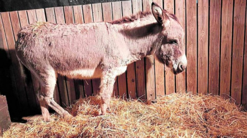 Almeria nativity scene organizers accused of maltreating donkey