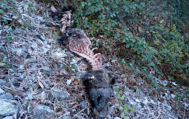 Asturias bear death raises suspicions of illegal hunting