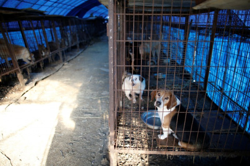 Raised for meat in South Korea, dogs head for new homes in U.S.