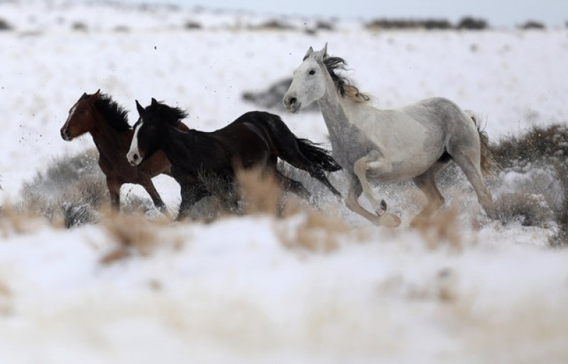 Prisoners tame wild horses for use by U.S. border patrol