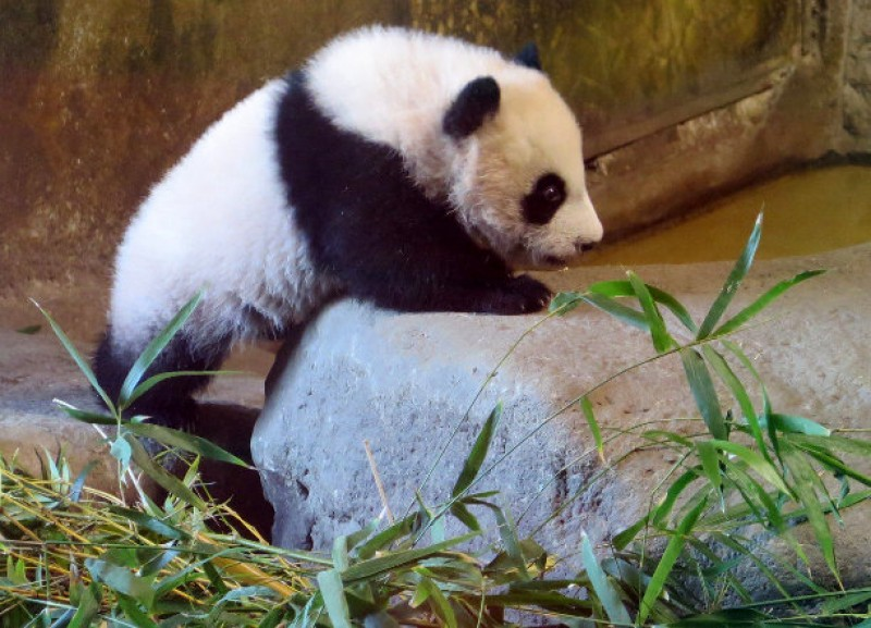 Madrid panda cub debuts in public
