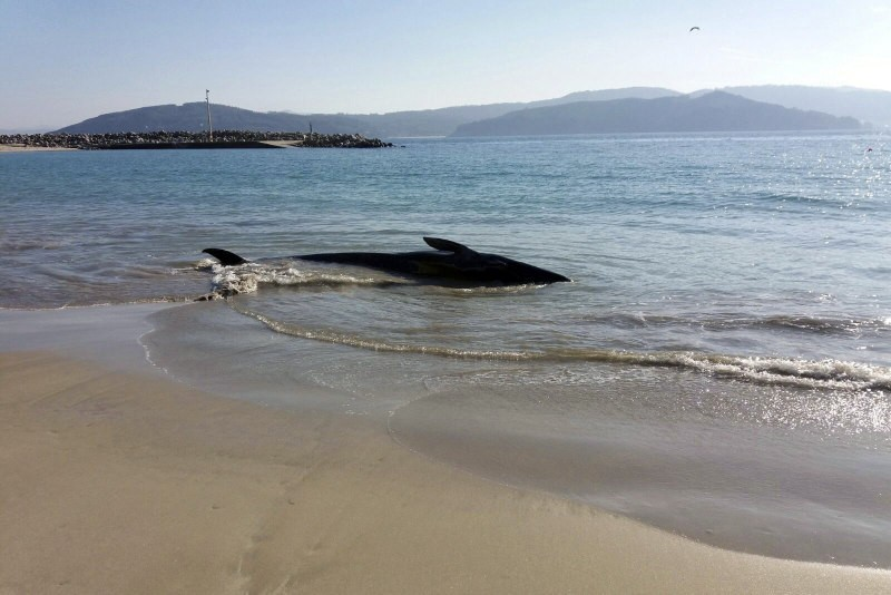 3-ton baby whale returned to the sea in A Coruña