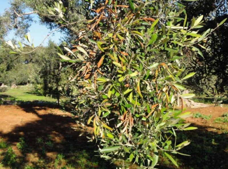 Balearics government destroys 2,000 fruit trees to fight the ebola of the olive