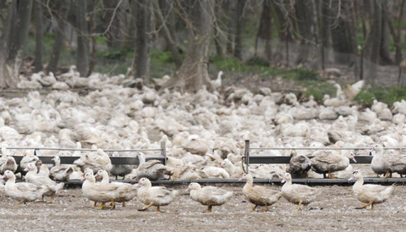 27,000 ducks slaughtered in Girona bird flu scare