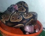 Granada woman accused of feeding live puppies and kittens to python