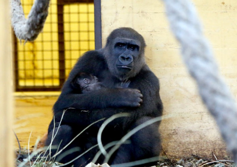 Fourth gorilla cub in five years born at Cantabria wildlife park