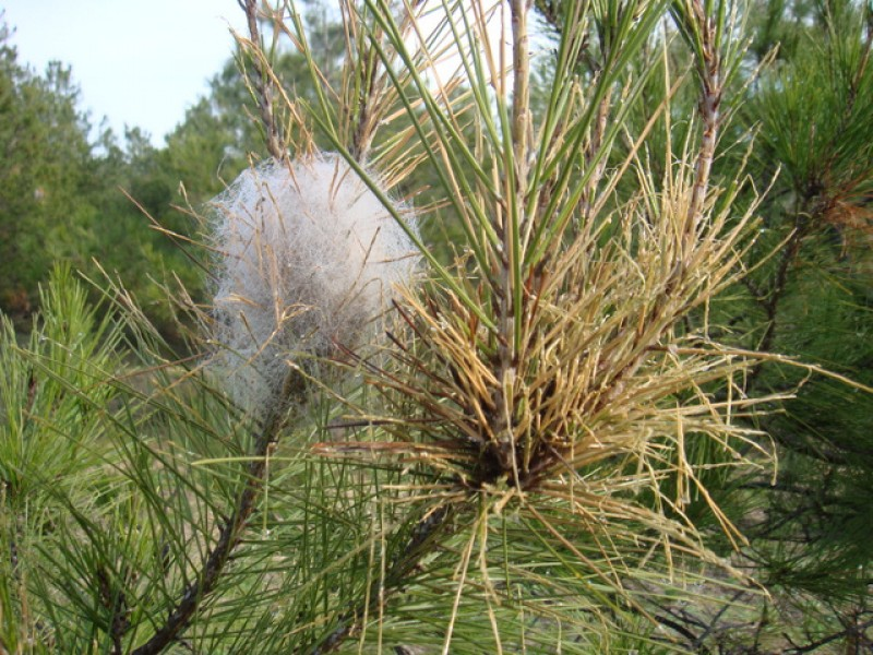 The pine processionary caterpillar, a serious threat to dogs and cats in Spain