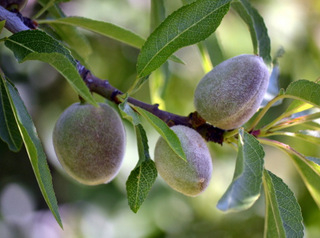 <span style='color:#780948'>ARCHIVED</span> - Drought threatens Murcia almond crops