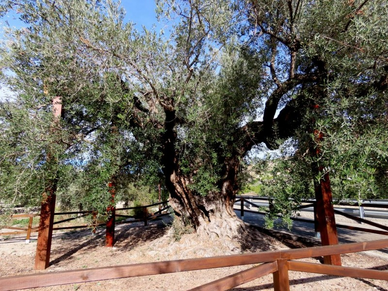 The oldest tree in the region of Murcia, the Olivera Gorda in Ricote