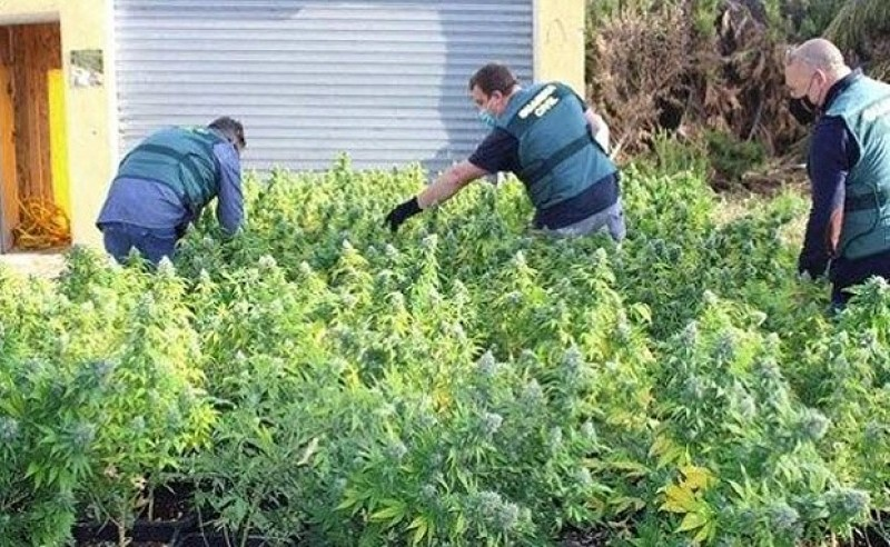 <span style='color:#780948'>ARCHIVED</span> - Squatter arrested for growing 998 marihuana plants in illegally occupied property in Novelda, Alicante