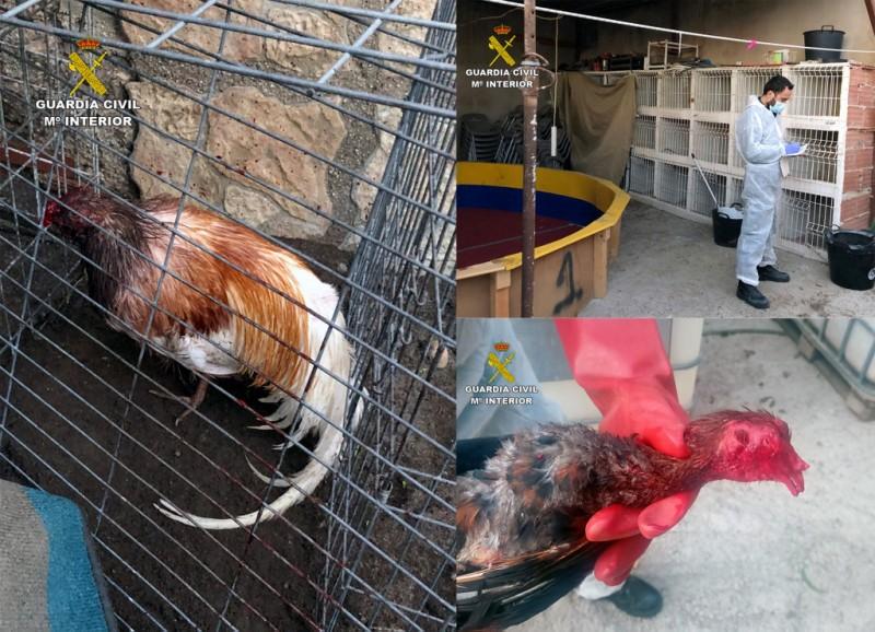<span style='color:#780948'>ARCHIVED</span> - Cockfighting arena and badly injured birds found in Totana