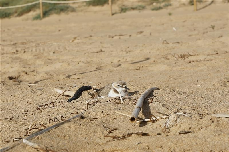 <span style='color:#780948'>ARCHIVED</span> - Special protection for Kentish plovers nesting on Calarreona beach in Águilas