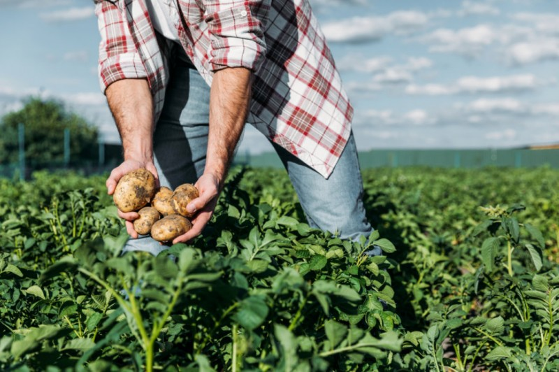<span style='color:#780948'>ARCHIVED</span> - Cheap as chips: Spanish potato prices are forced down by imports and supermarkets