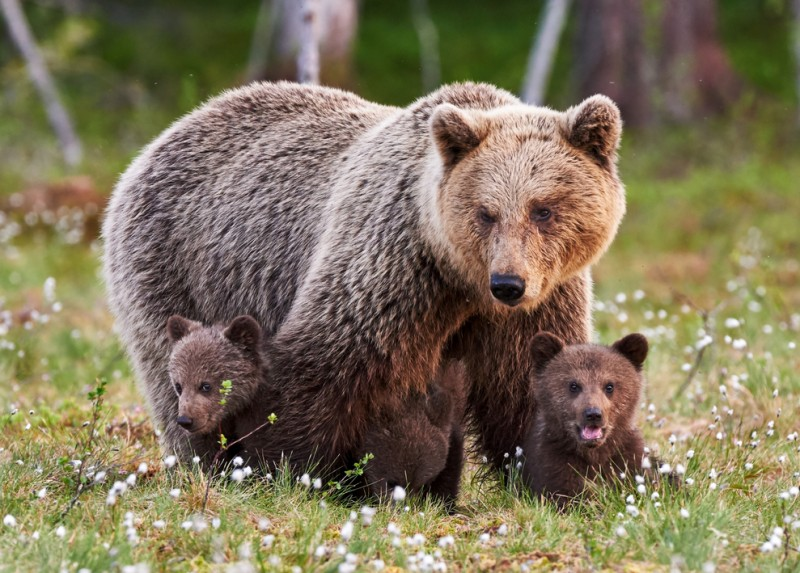<span style='color:#780948'>ARCHIVED</span> - Body of young brown bear found in Asturias to be examined for possible poisoning