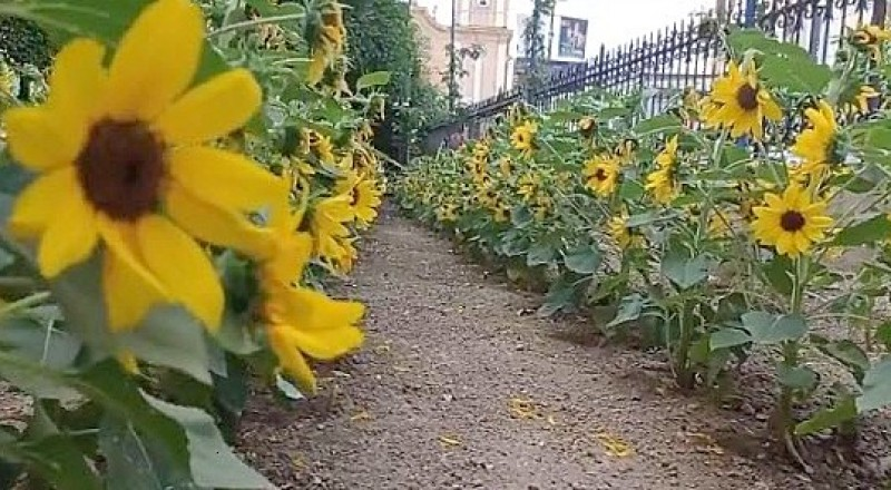 <span style='color:#780948'>ARCHIVED</span> - Sunflowers bask in the Provence sunshine......or is that the Murcian sunshine