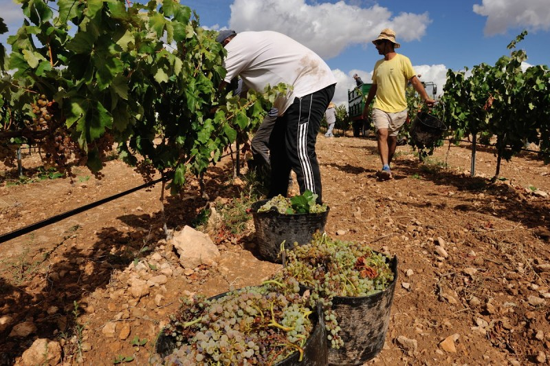 <span style='color:#780948'>ARCHIVED</span> - Grape harvest is underway in Jumilla, accelerated by recent high temperatures