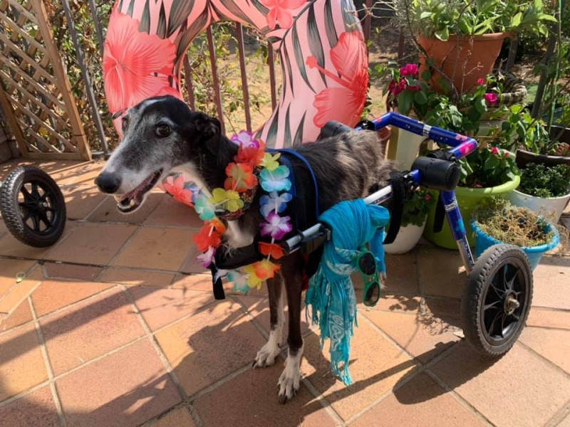 <span style='color:#780948'>ARCHIVED</span> - Disabled dogs show life can still be fun on Mazarron dog beach