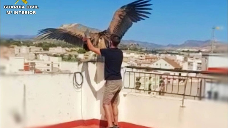 <span style='color:#780948'>ARCHIVED</span> - Lost and malnourished Griffon vulture rescued from rooftop in Novelda
