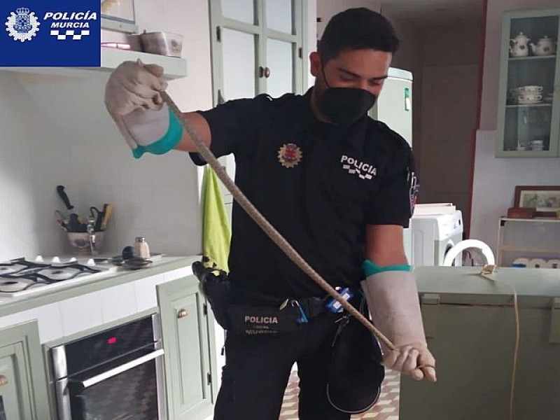 <span style='color:#780948'>ARCHIVED</span> - Two horseshoe whip snakes found inside Murcia homes