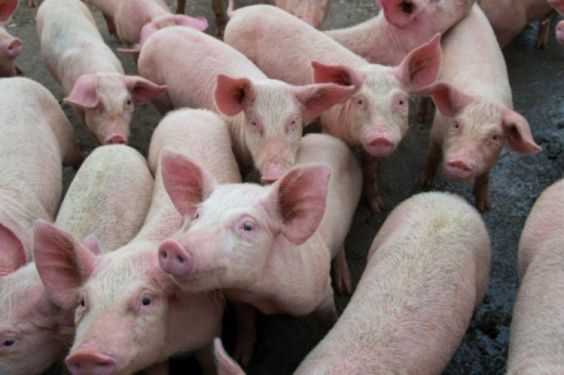 <span style='color:#780948'>ARCHIVED</span> - Spain slaughters 910 million animals for meat exports