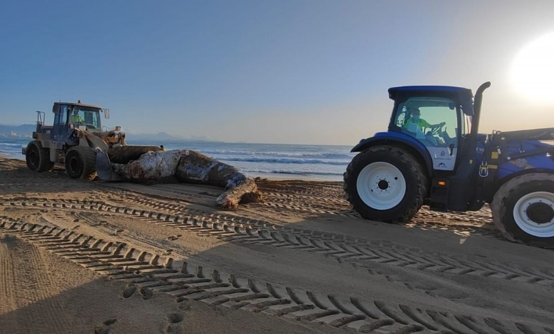 <span style='color:#780948'>ARCHIVED</span> - Dead eight ton whale washes ashore beach in Elche