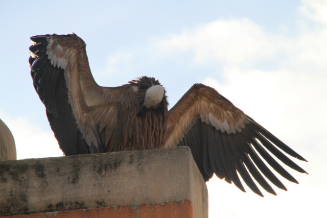 <span style='color:#780948'>ARCHIVED</span> - Griffon vulture captured in the centre of Alhama de Murcia