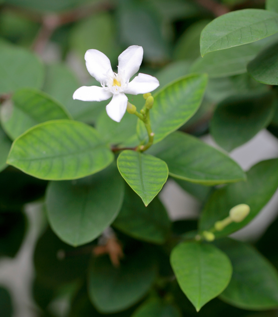 Dog owners beware: stephanotis pods can kill dogs
